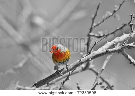 Melba Finch - African Wild Bird Background - Selective Coloring of Red and Yellow