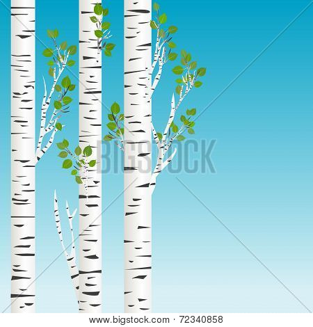 Birch Trees With Green Leaves Background