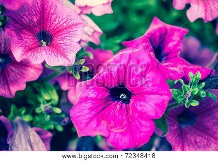 Violet flower - muscat
