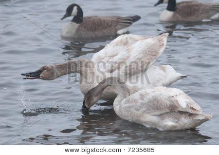 Pair Of Trumpeter Swans (Cygnus buccinator) Preening & Water Droplets