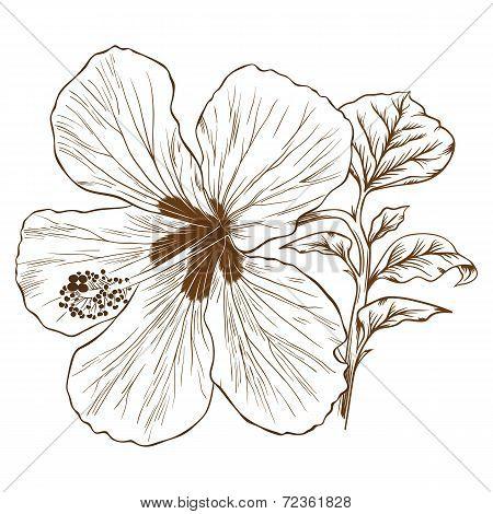 Vector Hibiscus.