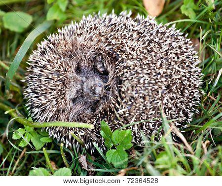 Hedgehog Ball In Green Grass