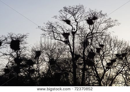 Herons With Nests