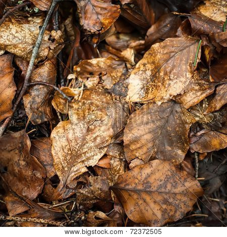 Fallen Wet Leaves In Rainy Forest. Abstract Nature Background