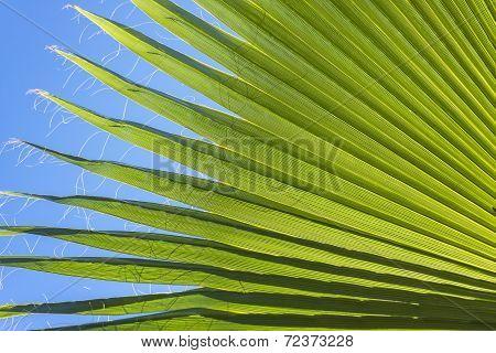 Palm Leaf Nature Background