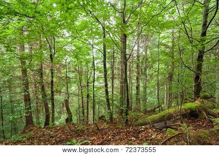 Pine Trees And Ferns Growing In Deep Highland Forest. Carpathian Mountains