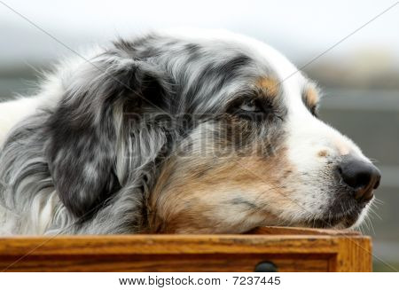 Dog in Carriage