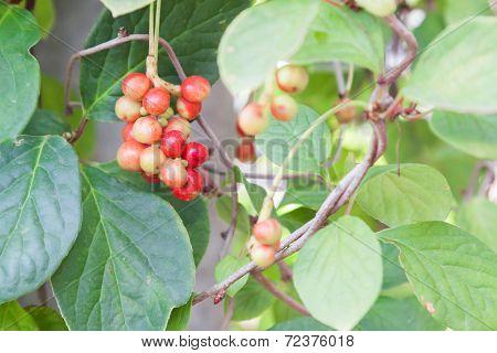 Magnolia Vine