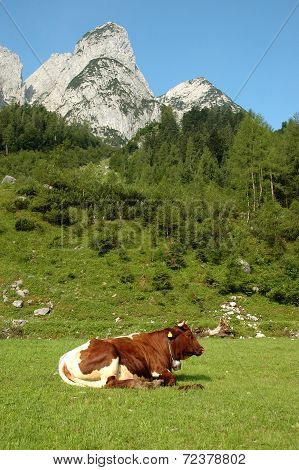 Cow resting outdoors in the mountains