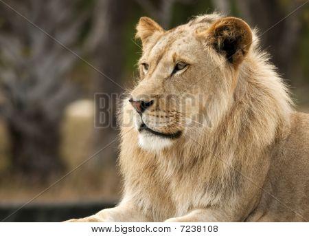 Peaceful Lion Profile