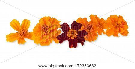 The Marigold Flower Heads