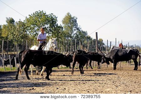 Girls Gardians Working A Herd Of Bulls