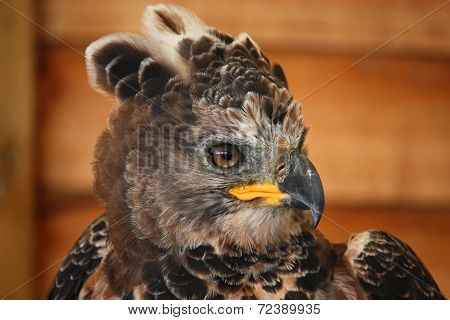 A Magnificent African Crowned Eagle