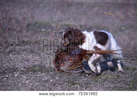 Liver And White Working Type English Springer Spaniel Pet Gundog Retrieving A Pheasant