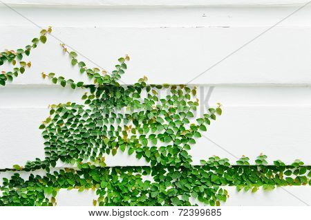 The Green Creeper Plant.