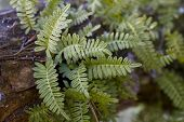stock photo of dead plant  - These are resurrection fern air plants - JPG
