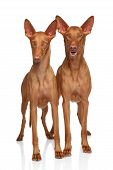 stock photo of pharaoh  - Two Pharaoh Hounds on a white background - JPG