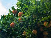 stock photo of cobweb  - Ripe oranges and cobweb in a tree - JPG