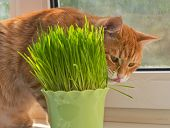 stock photo of catnip  - Cat sniffing and munching a vase of fresh catnip - JPG