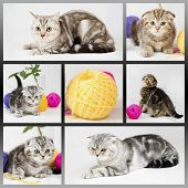 stock photo of portrait british shorthair cat  - British shorthair kittens on white background - JPG