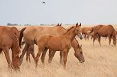 stock photo of steppes  - Herd of Russian Don horses in the steppe - JPG