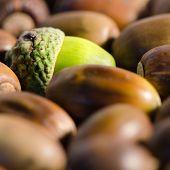 picture of acorn  - Green acorn among lot of ripe acorns - JPG