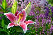 foto of stargazer-lilies  - Beautiful pink stargazer lily flower in spring garden