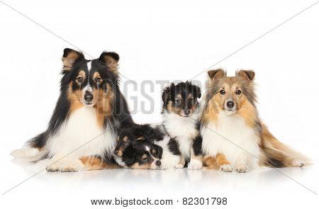 Dog Breeds Sheltie