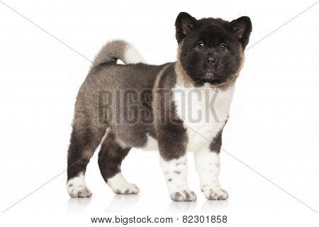 American Akita Puppy Portrait