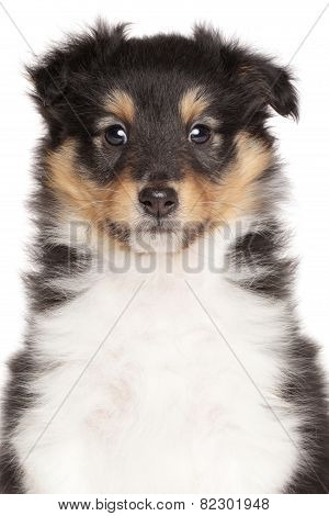 Shetland Sheepdog Puppy Isolated