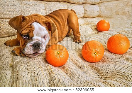 Bulldog Puppy Playing