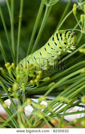 Green Caterpillar On Branch Dill