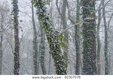 Snow-covered trunks of trees