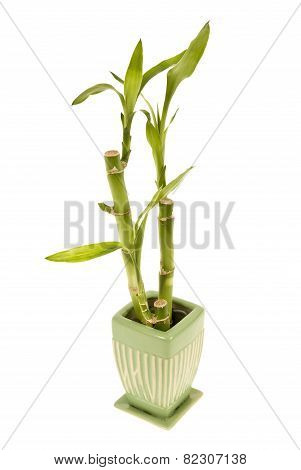 Bamboo In Small Vase