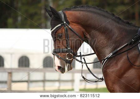 Beautiful Sport Horse Portrait In Summer