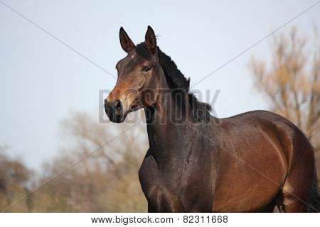 Beautiful Brown Latvian Horse Portrait
