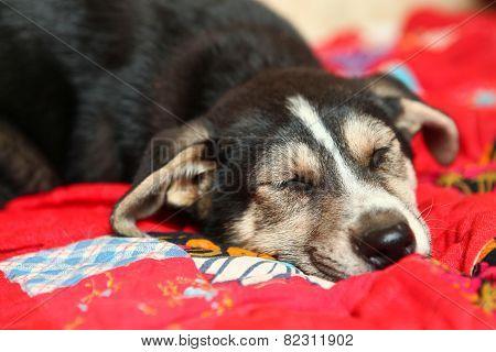 Cute Shepherd Puppy Lay On The Bed Sleeping