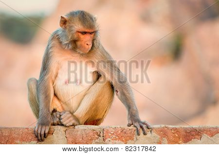 Macaque at the Monkey Temple, Jaipur.