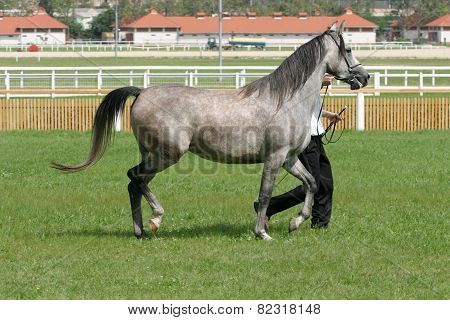 Beautiful Young Purebred Gray Arabian Mare