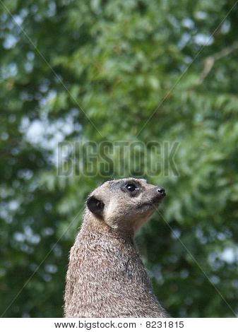 Sentinel (Meerkat)