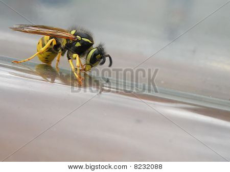 Detail Of Dangerous Wasp Sitting On Glass House