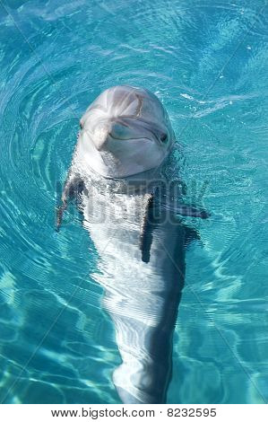 Bottle-nosed Dolphin