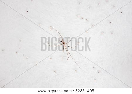 The Cellar Spider Or Daddy Long-legs Spider