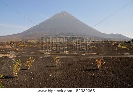 Grape Plants By The Volcano