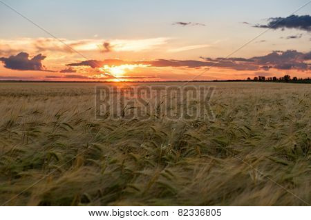 Sunset in yellow wheat field. Summer landscape
