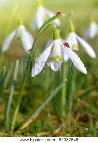 closeup snowdrops with ladybirds