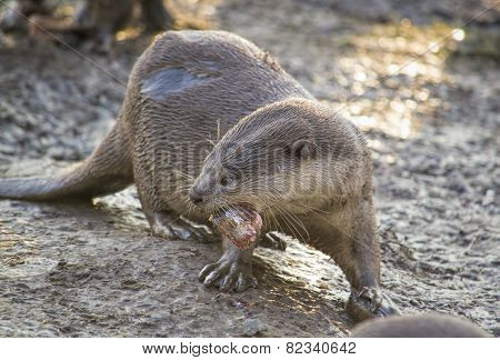 Otter with a piece of fish
