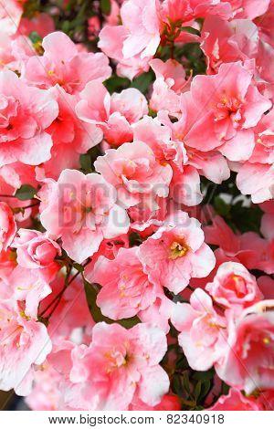 Blooming pink Azalea flowers close-up