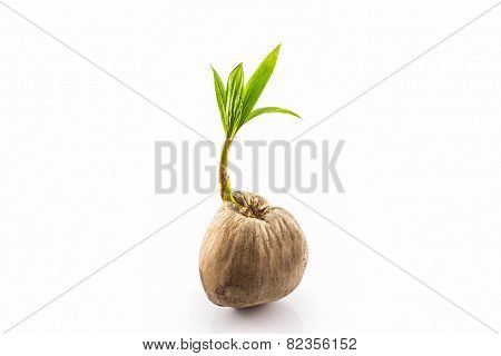 Young Sprout Of Coconut Tree.
