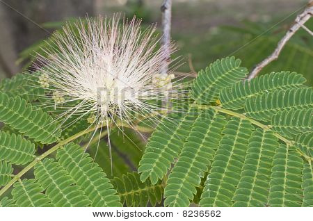 Green leaves and flower in sun back light of Albizia julibrissin